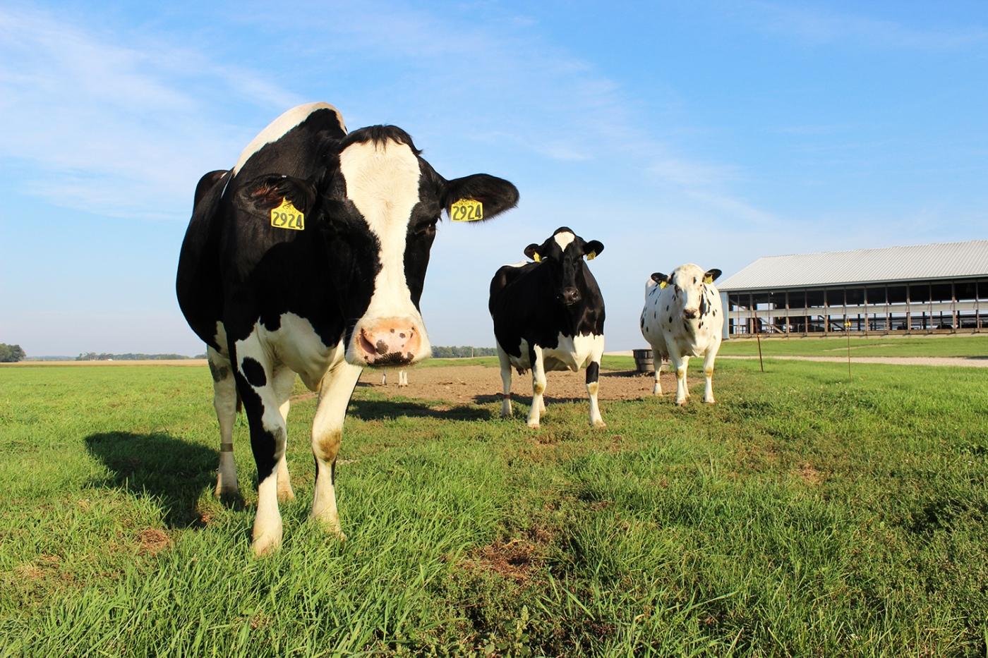 Sassy Cows1