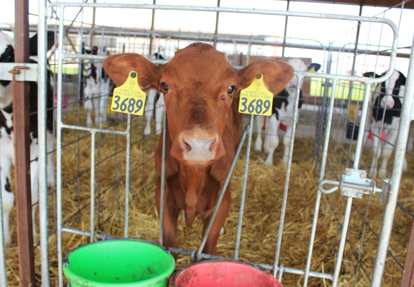 Short horn calf_cropped